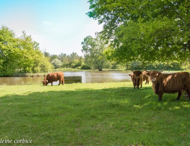 les vaches écossaises